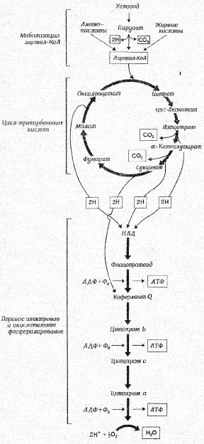 Схема дыхания.